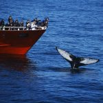 Whale Watching Humpback Tail in Iceland