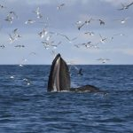 Humpback whales in Iceland