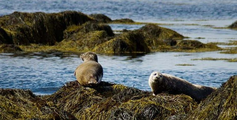 Seals relaxing at Snaefellsnes Penisula In Iceland