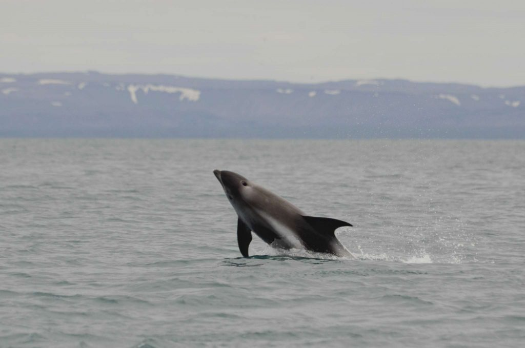 White beaked dolphins in Iceland