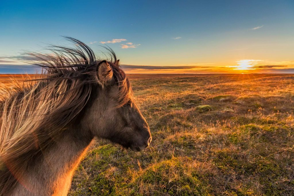 iceland horse in snaefellsnes peninsula in Iceland