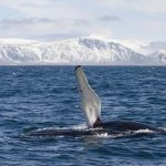 Elding Whale Watching in Iceland
