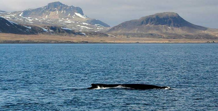 Whale Watching West Iceland