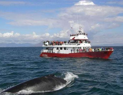 Whale Viewing In Icelandic Sagas