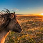 Icelandic Horse in Snæfellsnes Peninsula