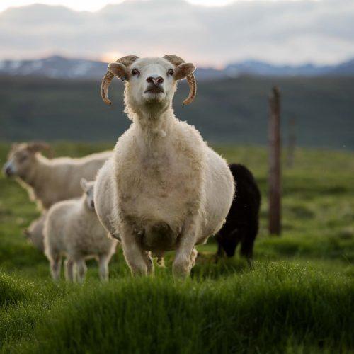Icelandinc Sheep Horse Riding Tour