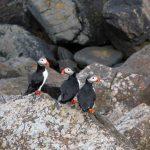 puffins Iceland
