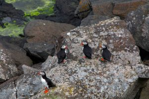 Puffins in West Iceland