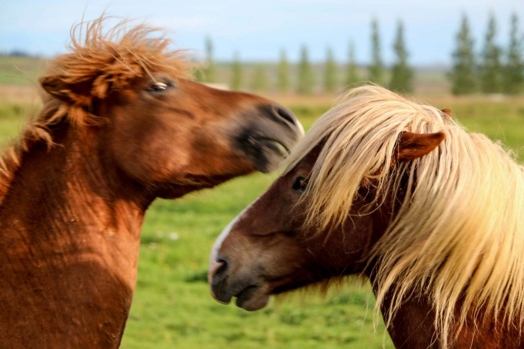 Horse petting in Iceland