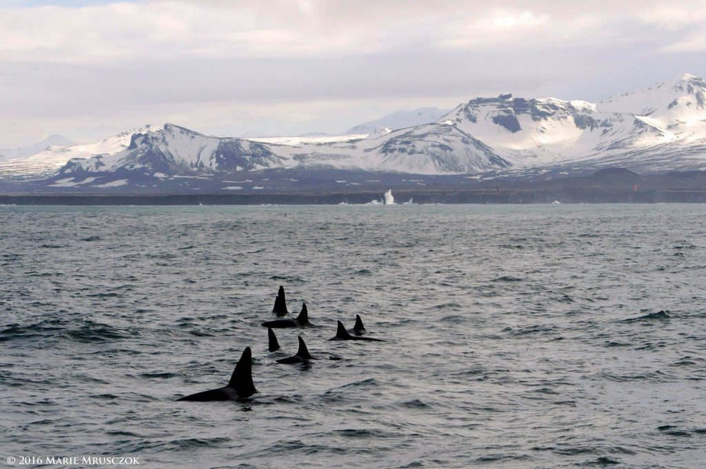 Winter Whale Watching, Iceland