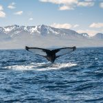 west iceland Whale watching
