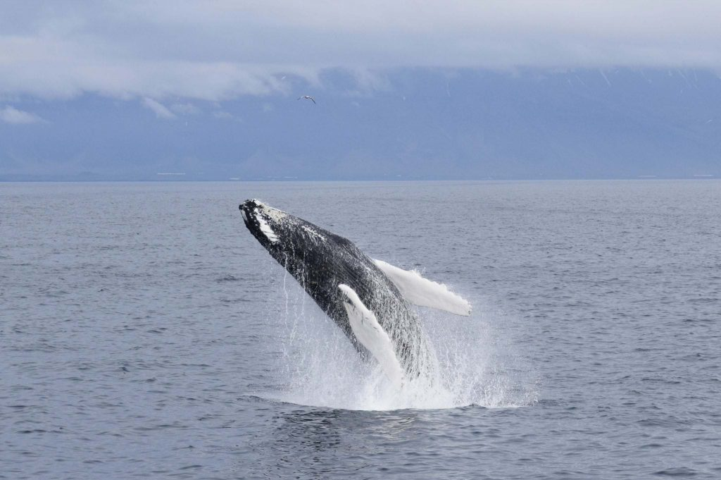 whale watching, Iceland