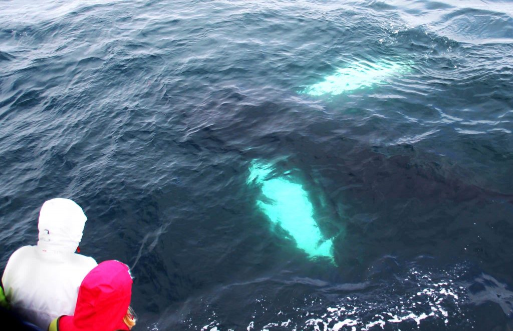 Reykjavik express whale watching in Reykjavik express whale watching