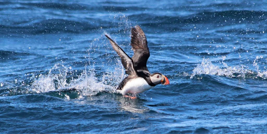 puffin watching in North Iceland